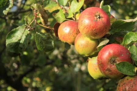 Jus de pommes bio